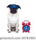 sleepyhead dog 36783965