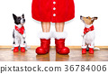 christmas santa claus dogs 36784006