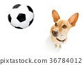 soccer player dog 36784012