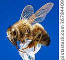 Honey Bee 36784409