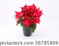 一品紅 聖誕季節 聖誕節期 36785806