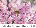 카와 벚꽃과 동박새 36797336