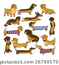 Set of dog dachshund illustrations 36799570