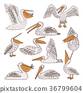 Birds pelicans and fish background 36799604