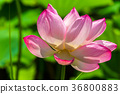 lotus, bloom, blossom 36800883