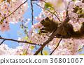 กระรอก,ดอกซากุระบาน,ซากุระบาน 36801067