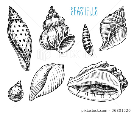 seashells or mollusca different forms. sea 36801320