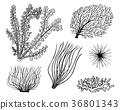 marine plants seaweed. vegetable life and food for 36801343