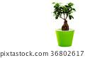 bonsai tree on a white background, beautiful. 36802617