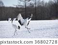 日本吊车 鹤 野生鸟类 36802728
