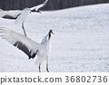 日本吊车 鹤 野生鸟类 36802736