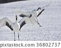 日本吊车 鹤 野生鸟类 36802737
