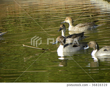 northern pintail, brown, browns 36816319