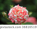 rose, roses, bloom 36816519