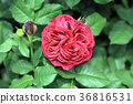 rose, roses, bloom 36816531