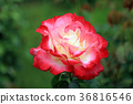 rose, roses, bloom 36816546