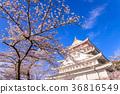 벚꽃, 봄, 왕벚나무 36816549