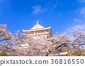 벚꽃, 봄, 왕벚나무 36816550