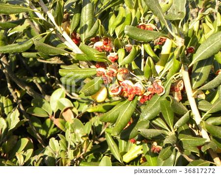 海桐 日本山梅花 种子 36817272