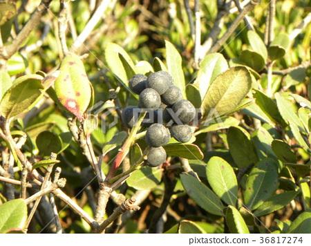 rhaphiolepis umbellata, fruit, dark purple 36817274