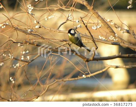 titmouse, great tit, wild bird 36817275