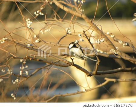 titmouse, great tit, wild bird 36817276