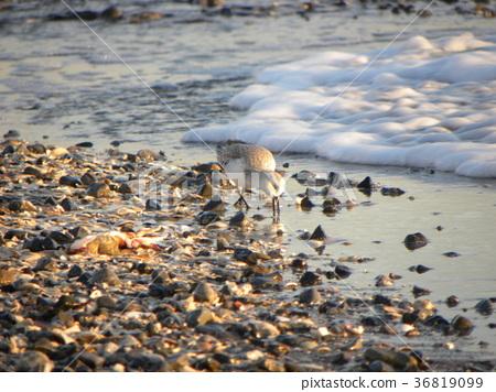 三趾濱鷸 候鳥 白色 36819099
