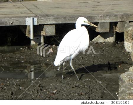 小白鷺 野生鳥類 野鳥 36819103