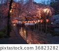 밤 벚꽃, 꽃잎, 벚나무무 36823282