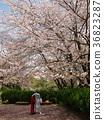푸른, 사쿠라, 벚나무무 36823287