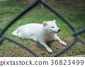 White Raccoon dog in a cage. 36823499