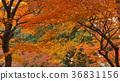 Momiji. Autumn in Japan.  36831156