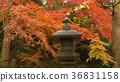 Momiji. Autumn in Japan.  36831158