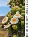 树形仙人掌 仙人掌 花 36832153