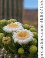 树形仙人掌 仙人掌 花 36832155