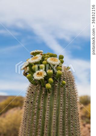 Saguaro Cactus in Bloom in the Desert 36832156