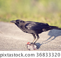 Crow eating a fish 36833320