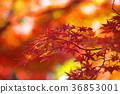 단풍, 단풍나무, 잎 36853001