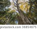 계수나무, 나무, 단풍 36854675