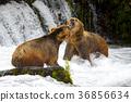 grizzly, bear, alaska 36856634
