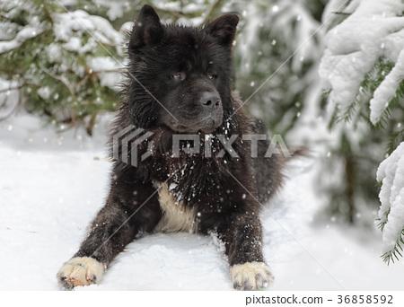 American Akita dog 36858592