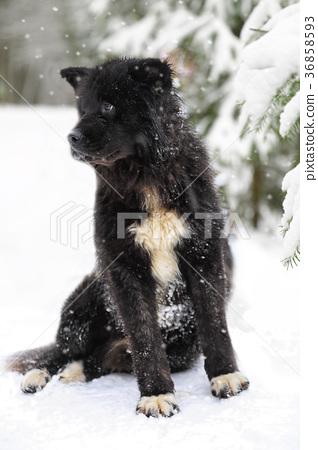 Purebred American Akita dog 36858593