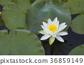 lotu, water, lily 36859149