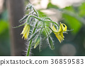 Tomato flower 36859583