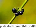 Solanum nigrum 36859589