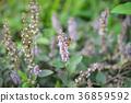 Fairy grass 36859592