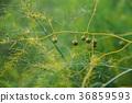 asparagus 36859593
