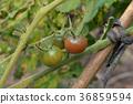 tomato 36859594