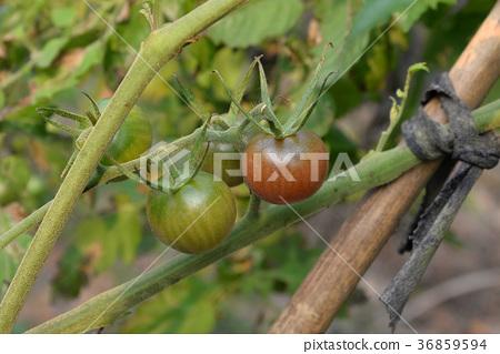 番茄 36859594
