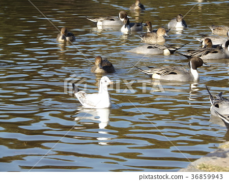 northern pintail, brown, browns 36859943